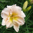 Large Selection of Daylily and Hosta at Hopkinton Stone & Garden, Hopkinton, MA
