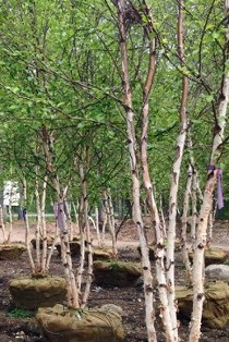River Birch from our tree farm at Hopkinton Stone and Garden in MA. Let us know what you are looking for