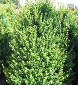 Steeds Upright Holly Screening hedge evergreen