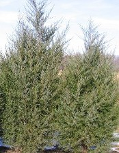 Eastern Red Cedar evergreen screening tree for tough locations