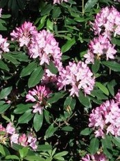 Maximum Rhododendron, a flowering evergreen screen