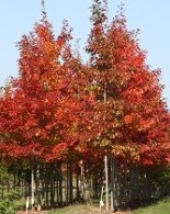 Northern Red Oak at Hopkinton Stone & Garden
