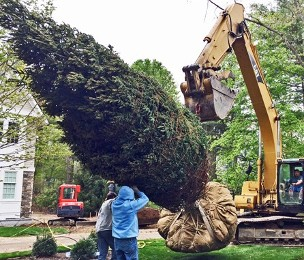 Evergreen Trees are ready for screening at Hopkinton Stone & Garden