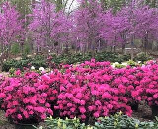 Flowering Trees and Shrubs at Hopkinton Stone & Garden