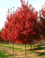 'October Glory' and 'Red Sunset' Red Maple