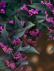 Beautyberry Pearl Glam_Hopkinton Stone & Garden